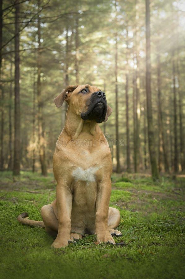 Młodzi południe - afrykański mastifa psa obsiadanie w bajka lesie l zdjęcia stock