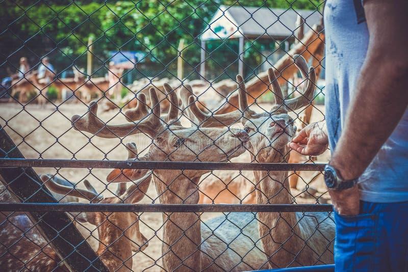 Młodzi rogacze w mężczyźnie i zoo fotografia royalty free