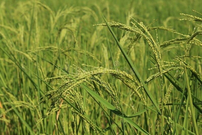 Młodzi ryż groszkują w ucho irlandczyk w zielonym ryżu polu obrazy royalty free