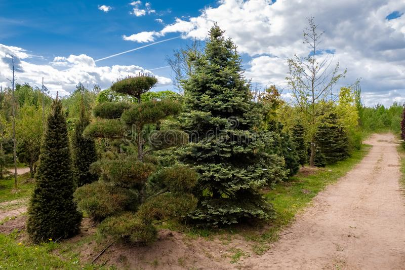 Młodzi sosnowi i jedlinowi drzewa Aleja rozsada rośliny w rośliny pepinierze obrazy stock