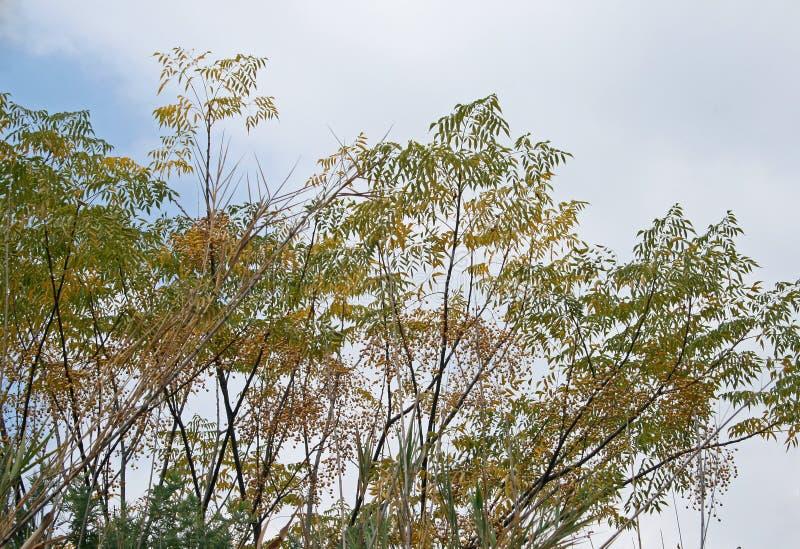 MŁODZI SYRINGA drzewa Z ŻÓŁTYMI ziarnami obrazy royalty free