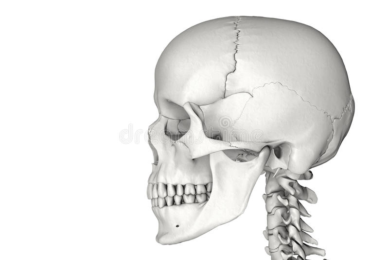 mänsklig skalle vektor illustrationer