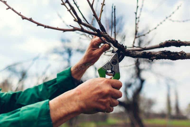 M??czyzna przycina drzewa z c??kami Męskie średniorolne cięcie gałąź w wiośnie uprawiają ogródek z przycinać strzyżenia lub secat zdjęcie royalty free