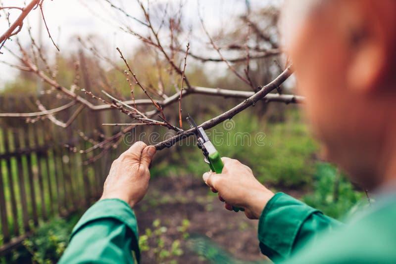 M??czyzna przycina drzewa z c??kami Męskie średniorolne cięcie gałąź w wiośnie uprawiają ogródek z przycinać strzyżenia lub secat zdjęcia stock