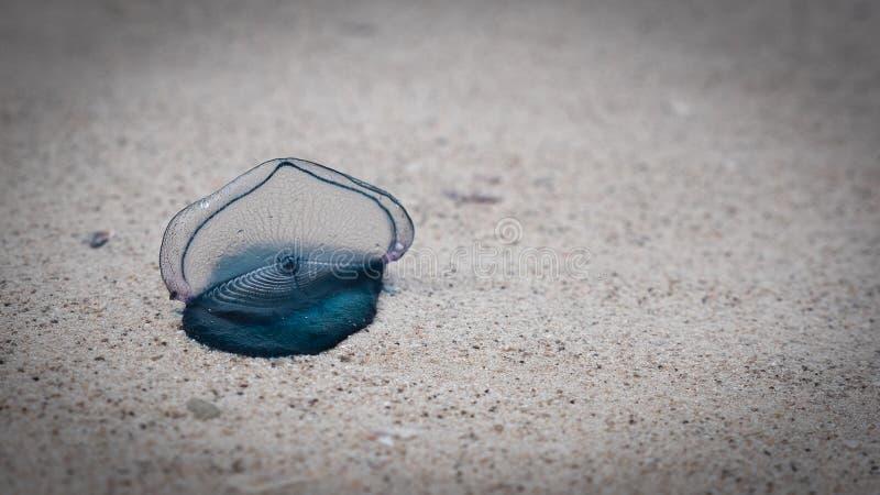 M?duses de bleuet sur la plage, beau bluey Fin vers le haut photographie stock libre de droits