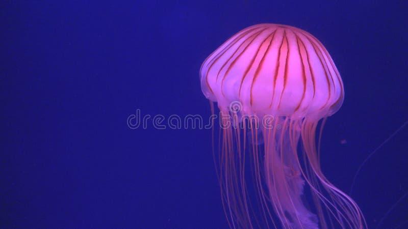 M?duses flottant dans l'aquarium, natation de m?duses, m?duse, animaux aquatiques photo stock