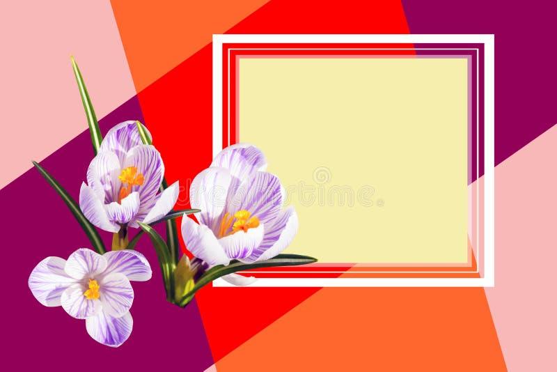 Designer card. Beautiful white violet crocus flowers. Spring. Floral bright background design stock photo