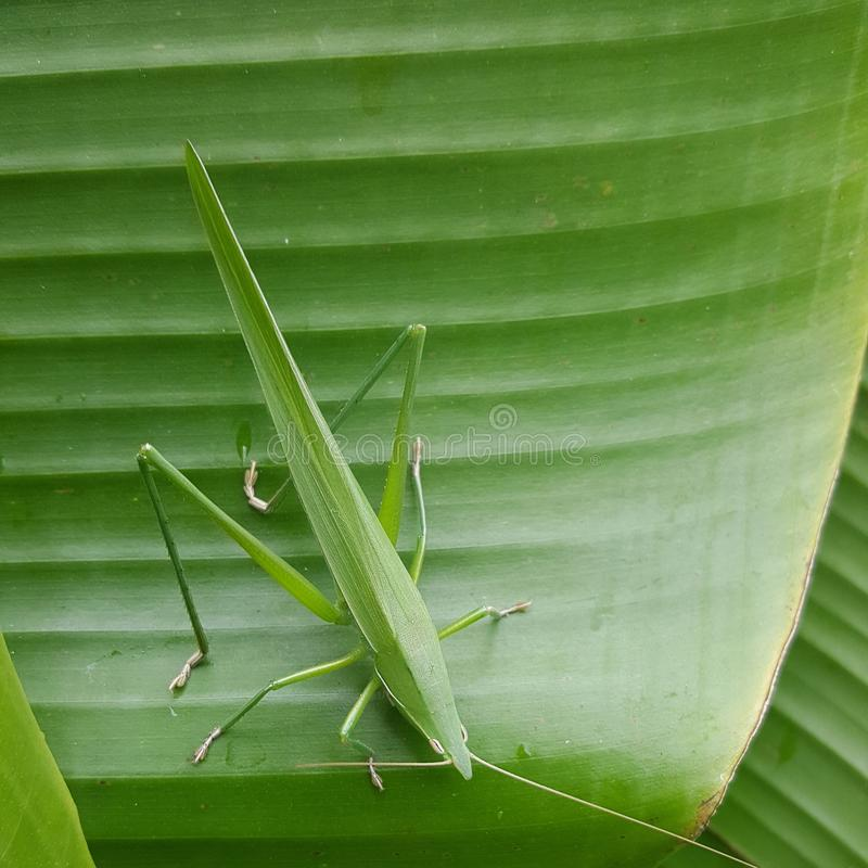 M. Grasshopper photo stock