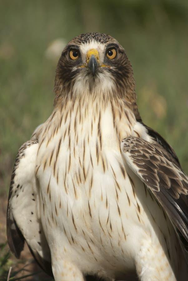 M?lad ?rn, blek morf, Aquila pennata royaltyfri foto