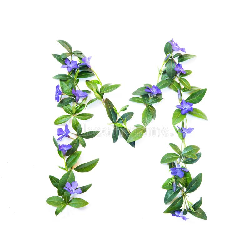 M, letter of the alphabet of flowers isolated on white background. The letter of flowers and leaves of periwinkle stock images