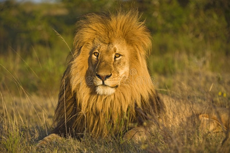 M. Lion royalty-vrije stock afbeeldingen