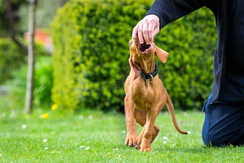 2 m?nader gammal gullig ungersk vizslahundvalp som biter ?garefingrar, medan spela utomhus i tr?dg?rden Lydnadutbildning royaltyfri fotografi