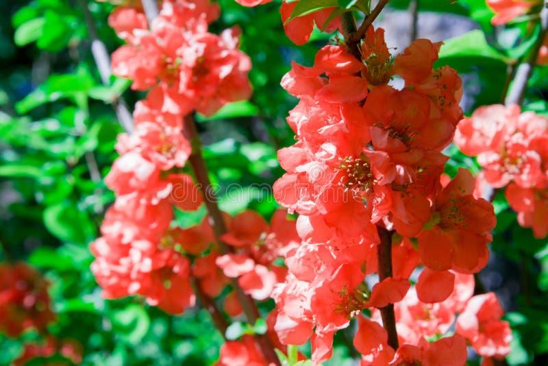 M?nga h?rliga f?rgrika blommor som blommar den japanska kvitten