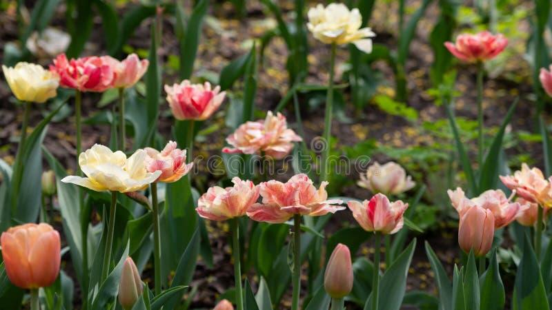 M?ngf?rgade tulpan blommade p? en rabatt i v?r fotografering för bildbyråer