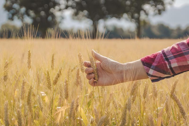 A m?o da mulher que toca no trigo imagem de stock royalty free