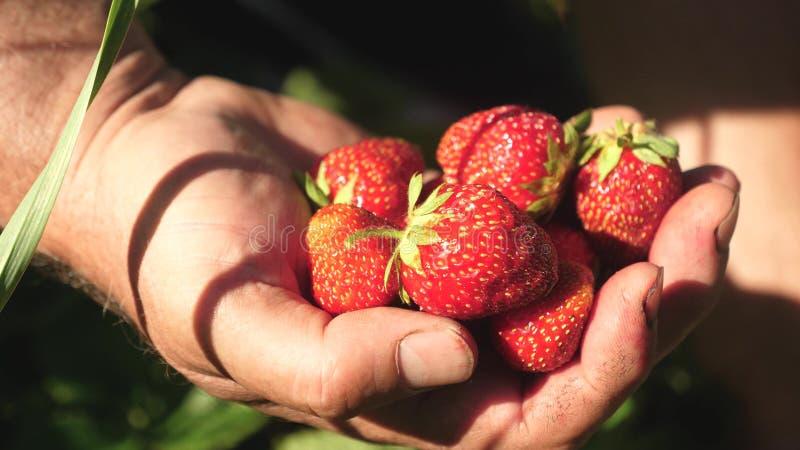 A m?o de um homem toma uma morango vermelha de um arbusto e p?e-na em sua palma um fazendeiro colhe uma baga madura a m?o do jard fotografia de stock royalty free