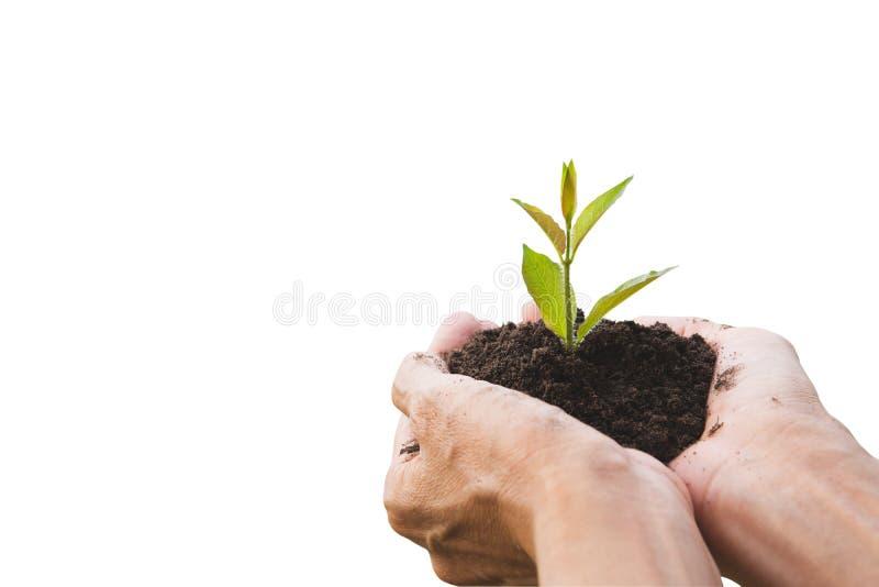 M?o que guarda um verde e uma planta pequena Plantas frescas verdes isoladas no fundo branco imagens de stock