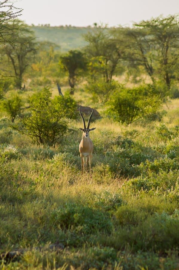 M?oda ?e?ska antylopa w sawannie Samburu park w ?rodkowym Kenja zdjęcia royalty free