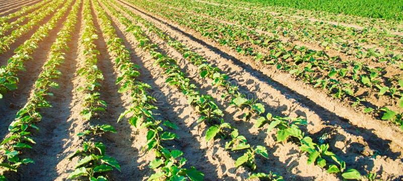 M?ode ober?yny r w polu jarzynowi rz?dy Rolnictwo farmlands Krajobraz z gruntem rolnym sztandar selekcyjny zdjęcia stock