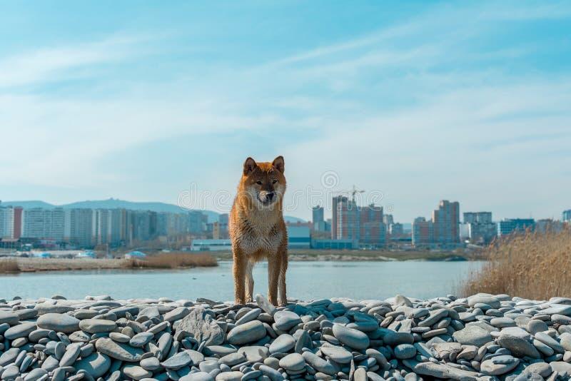 M?ody rodowodu pies odpoczywa na pla?y Czerwona shiba inu psa pozycja blisko czarnego morza w Novorossiysk fotografia royalty free