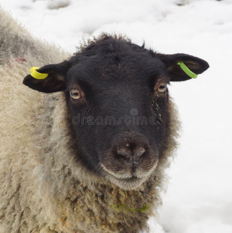 Download Młodzi Cakle, Baranek Na Zima Dniu/ Zdjęcie Stock - Obraz złożonej z soft, natura: 28954388