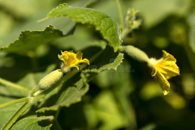 M?odzi og?rki w ogr?dzie Jajnik ogórki z kwiatem obrazy royalty free