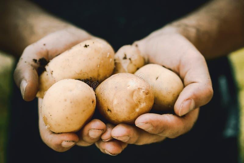 M?os dos fazendeiros com os vegetais recentemente colhidos Bio batatas frescas imagens de stock