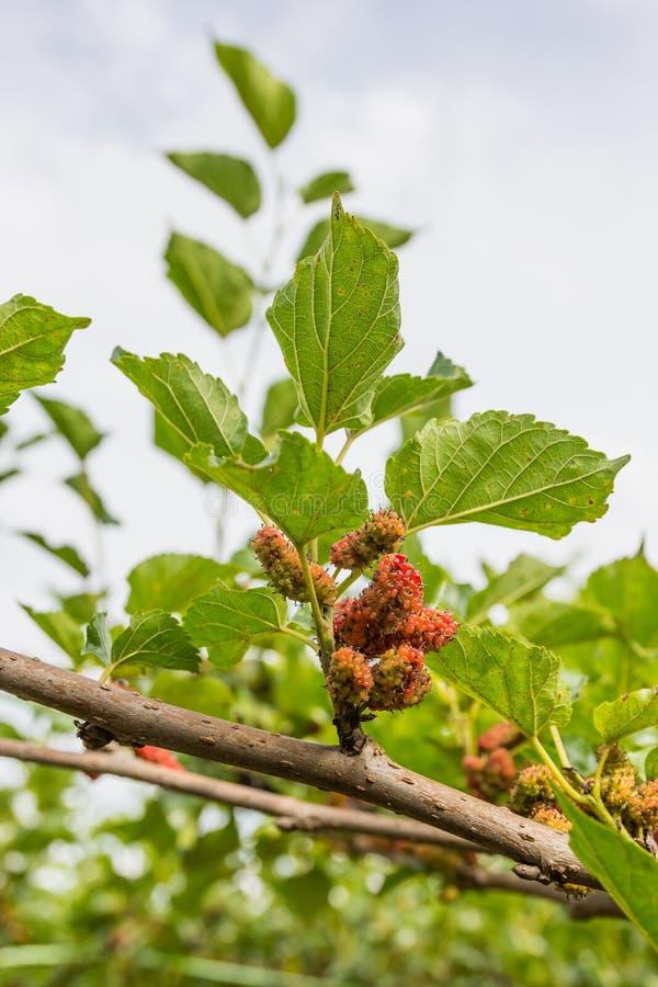 Download Mûres Non Mûres Rouges Sur La Branche Photo stock - Image du légume, agriculture: 87702350