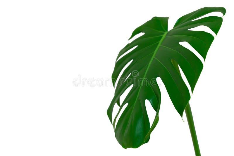 M?rkt - gr?na sidor av monstera- eller splittringbladphilodendronen den tropiska l?vverkv?xten som isoleras p? vit bakgrund royaltyfri bild
