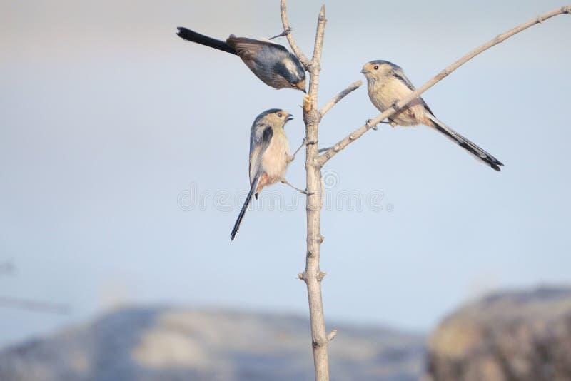 M?sange Long-tailed photographie stock libre de droits