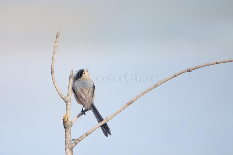 M?sange Long-tailed images stock