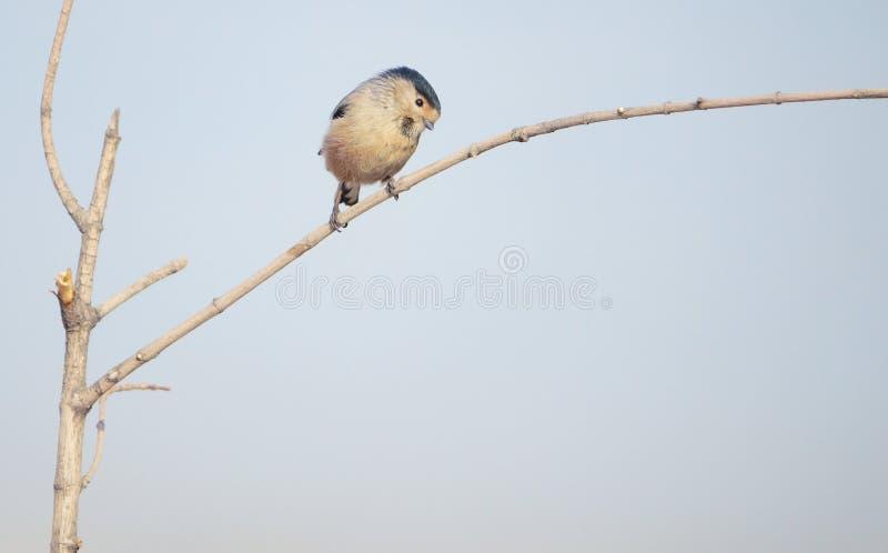 M?sange Long-tailed photos stock