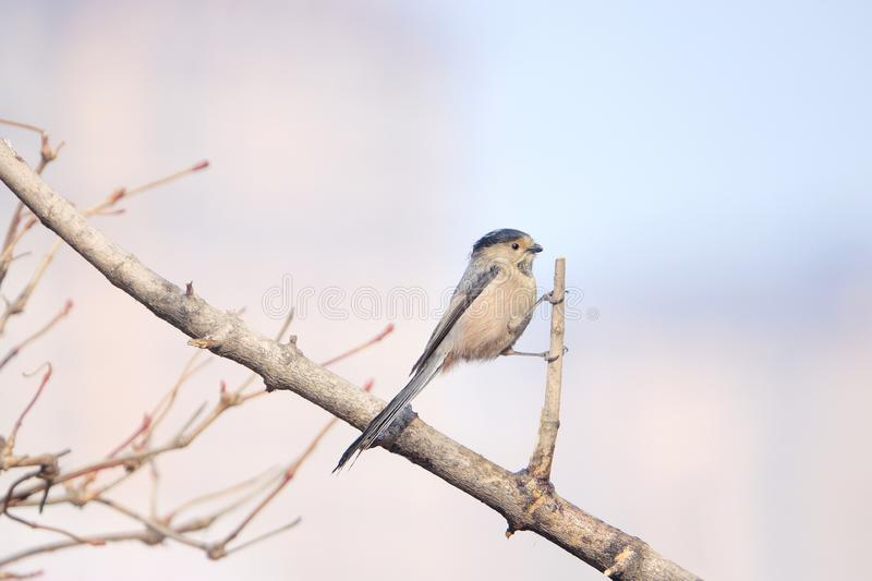 M?sange Long-tailed photographie stock