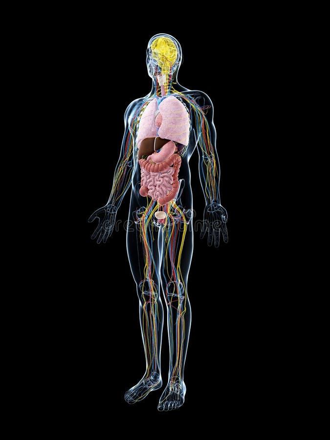 Download Męska anatomia ilustracji. Ilustracja złożonej z nauka - 28962421