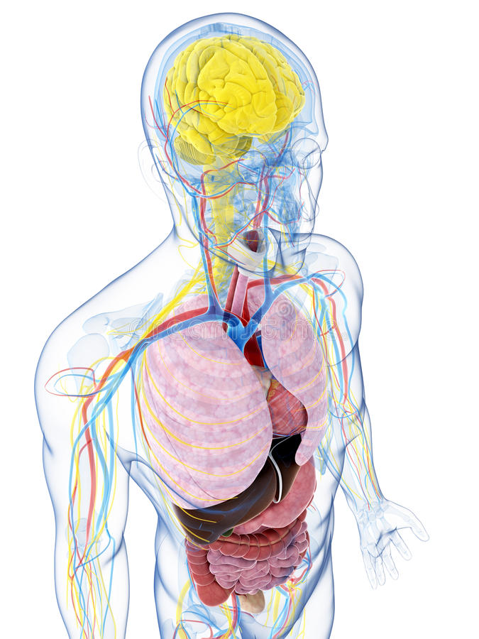 Download Męska anatomia ilustracji. Ilustracja złożonej z anatomiczny - 28962423