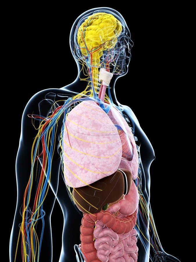 Download Męska anatomia ilustracji. Ilustracja złożonej z ciało - 28962427
