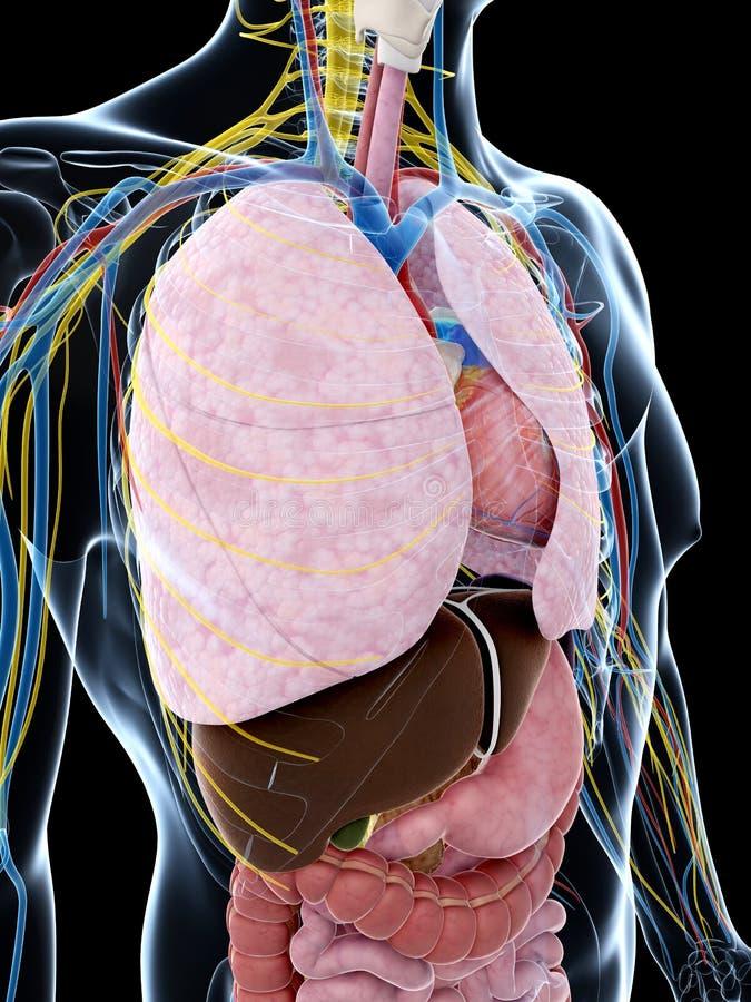 Download Męska anatomia ilustracji. Ilustracja złożonej z biologia - 28962435