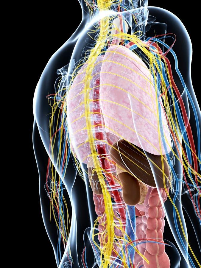 Download Męska anatomia ilustracji. Ilustracja złożonej z biologia - 28962455