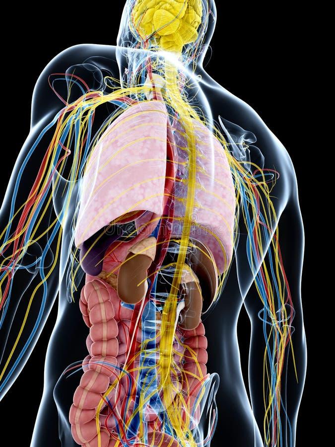 Download Męska anatomia ilustracji. Ilustracja złożonej z nerwy - 28962457