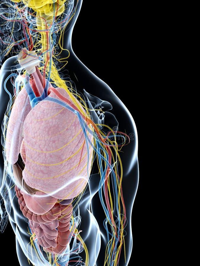 Download Męska anatomia ilustracji. Ilustracja złożonej z ciało - 28962482