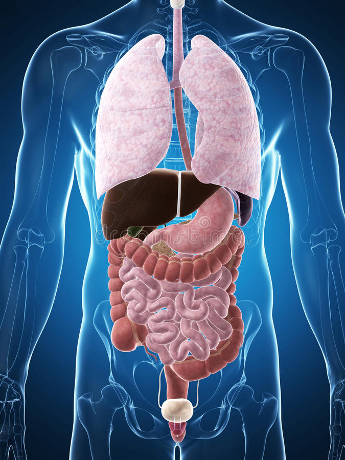 Download Męska anatomia ilustracji. Ilustracja złożonej z organy - 28962493