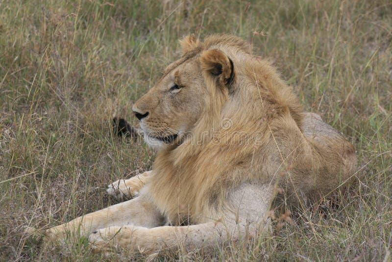 M?ski lwa lying on the beach w suchej trawie odpoczywa w Masai Mara, Kenja zdjęcia royalty free