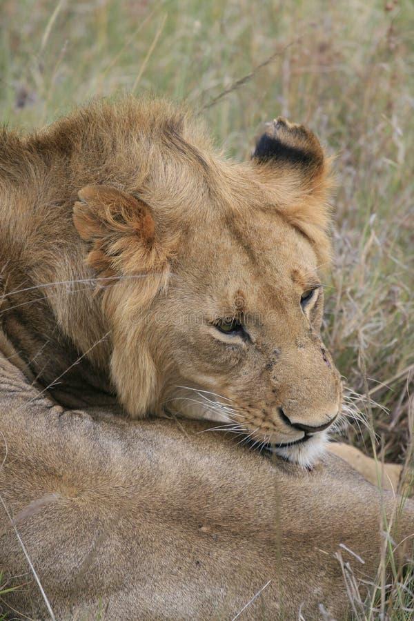 M?ski lwa lying on the beach w suchej trawie odpoczywa w Masai Mara, Kenja fotografia royalty free