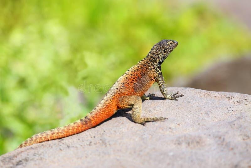 M?skiego kapiszonu lawowa jaszczurka na Espanola wyspie, Galapagos park narodowy, Ekwador obraz stock