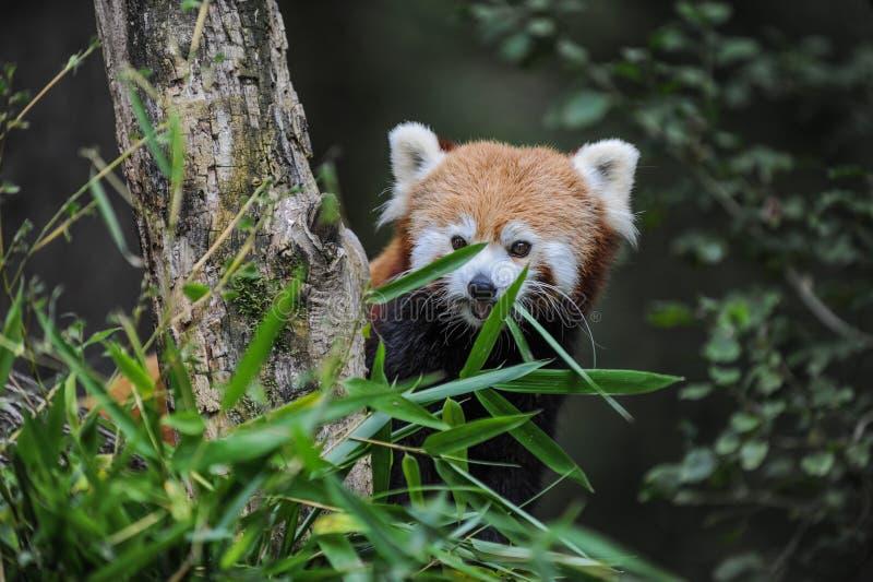 Mač ji panda royalty-vrije stock afbeeldingen
