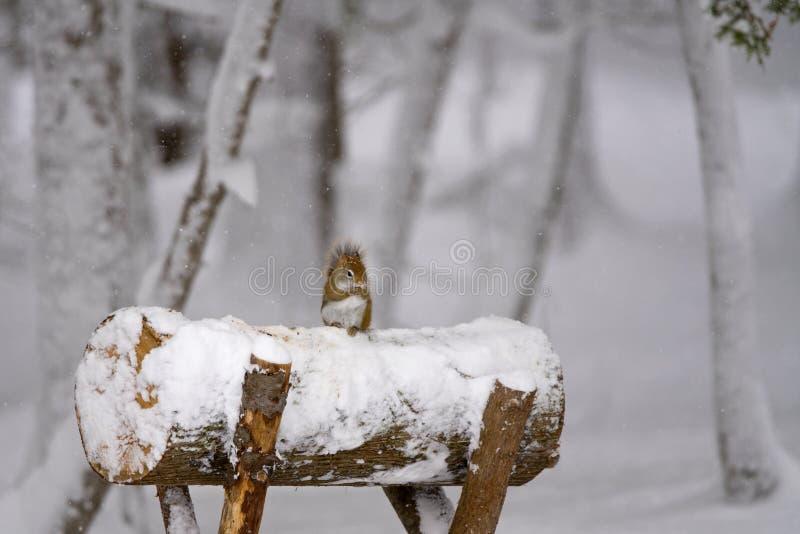 Mała Czerwona wiewiórka w zima obrazy stock