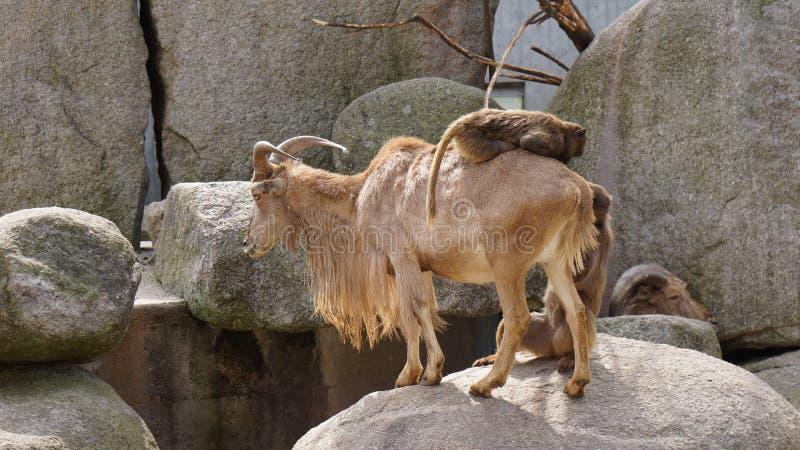 Małpia jazda na koźliej wzgórze scenerii obraz royalty free