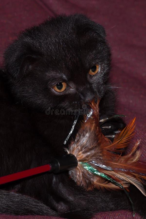 mały czarny szkocki fałdu kot z piórko zabawką zdjęcia stock