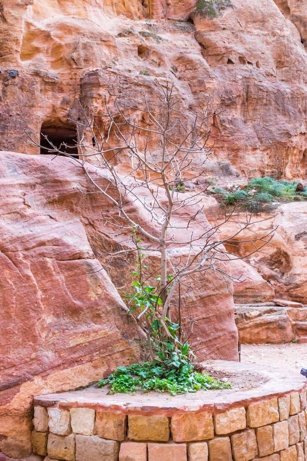 Mały drzewo w al w Petra, Jordania Petra jest jeden nowi Siedem cudów świat zdjęcia stock