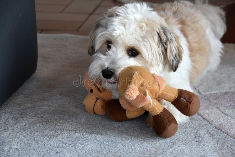 Mały havanese szczeniak z jego ulubioną zabawką fotografia royalty free